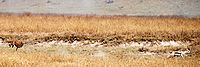 Een cheetah die achter een Thomson's gazelle aan rent