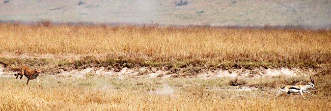 external image 650px-Cheetah_chasing_Thompsons_gazelle_crop.jpg