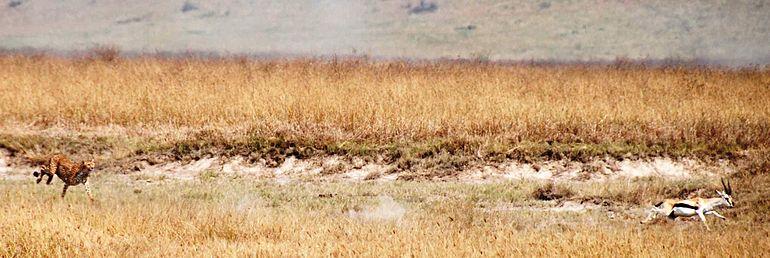 الفهد 770px-Cheetah_chasin
