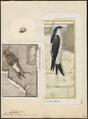 Chelidon urbica - 1700-1880 - Print - Iconographia Zoologica - Special Collections University of Amsterdam - UBA01 IZ16700197.tif