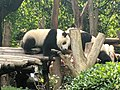 Chengdu Research Base of Giant Panda Breeding, 201907, 08.jpg
