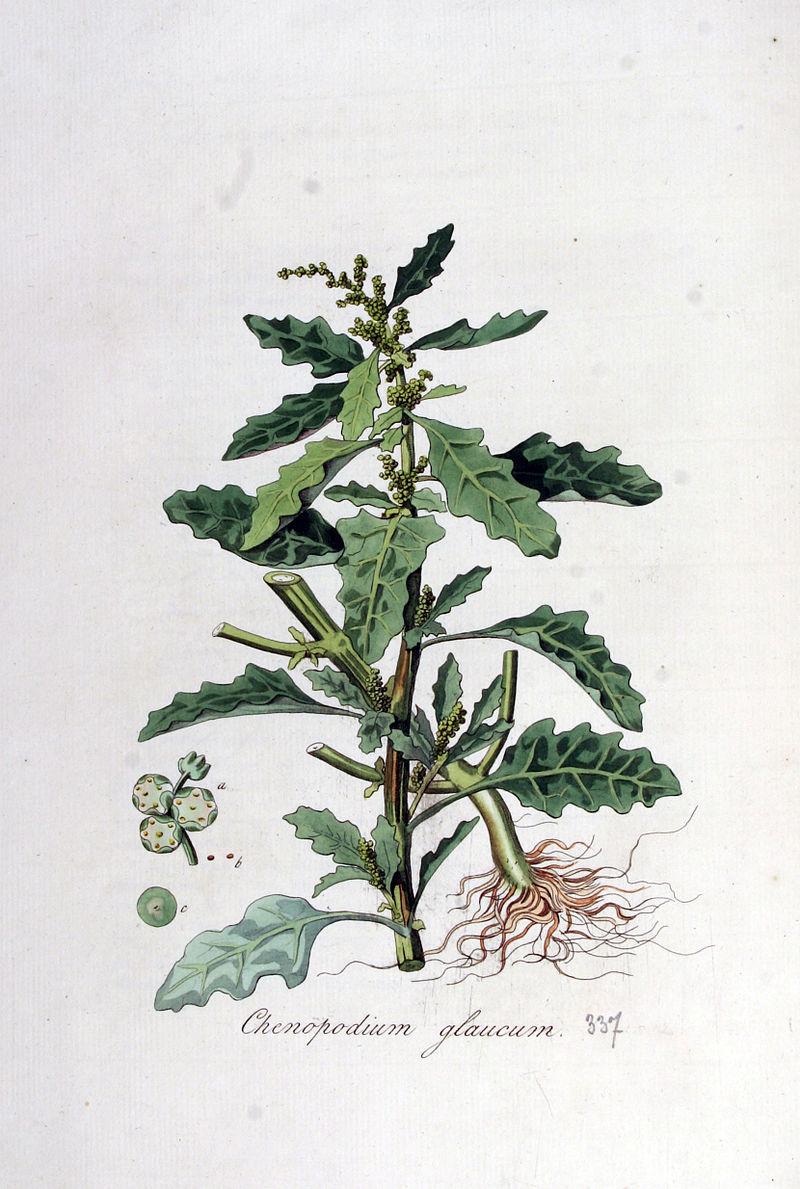 Chenopodium glaucum — Flora Batava — Volume v5.jpg