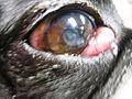 Cherry Eye in Small Mixed Breed Dog.jpg