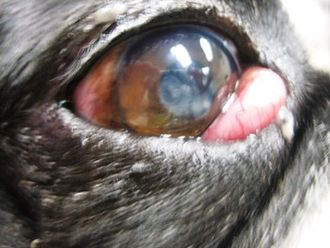 Cherry eye - Close-up of prolapsed gland in small breed dog