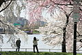 Cherry blossoms - Flickr - Al Jazeera English.jpg