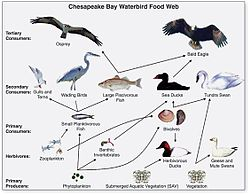 Chesapeake Waterbird Food Web
