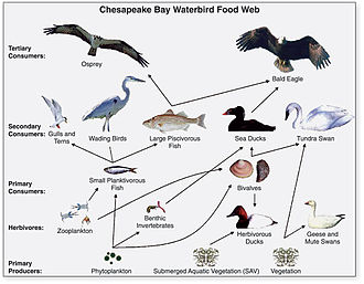 Ecology - Generalized food web of waterbirds from Chesapeake Bay