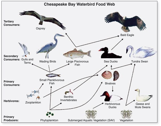 Chesapeake Waterbird Food Web