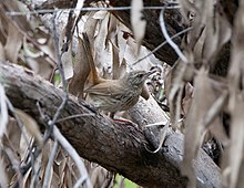 Chestnut- Rumped Heathwren small fx.jpg
