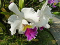 Chiang Mai Orchids P1110346.JPG