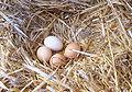 Chicken eggs.jpg