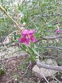 Chilopsis linearis (Desert Willow) flower.jpg
