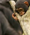 Chimpanzee III (13968482413).jpg