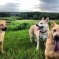 Chinook dogs.jpg