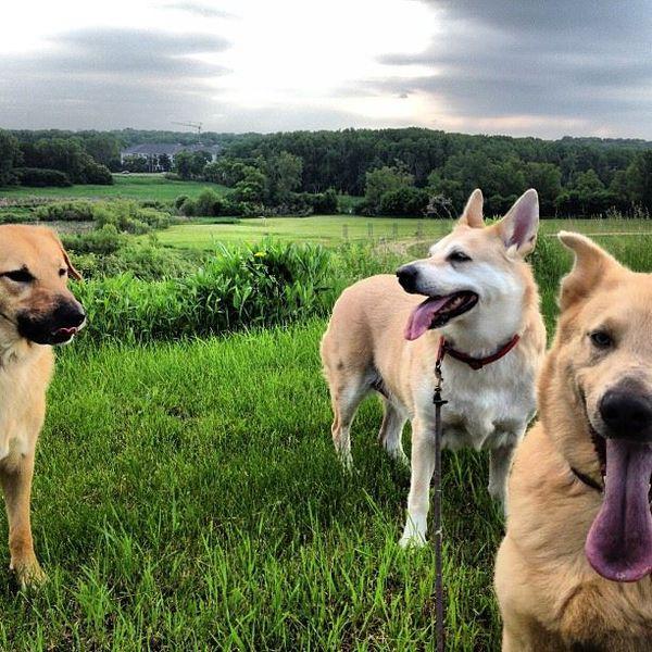 Chinook rare dog