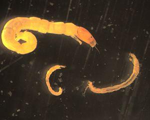 Bioturbation - Chironomid larvae.