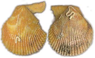 Chlamys varia - Image: Chlamys varia gelb von aussen