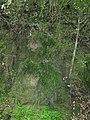 Chlorophytum comosum (Thunb.) Jacques (AM AK329756-4).jpg