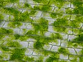 Chloroplasts - Microscopic view of Elodea canadensis.jpg