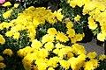 Chrysanthemum Cesaro 1zz.jpg
