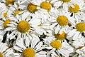 Chrysanthemum Corrine 0zz.jpg