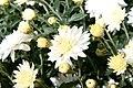 Chrysanthemum Geneva 2zz.jpg