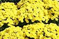 Chrysanthemum Padre Yellow 3zz.jpg