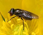 Chrysogaster virescens (female).jpg