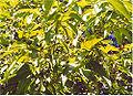 Cinnamomum verum0.jpg