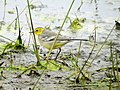 Citrine Wagtail female, Lynemouth Flash, Northumberland 8.jpg