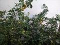 Citron-kanopeo.jpg