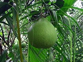 Citrus maxima in Vietnam.jpg