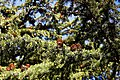 City of London Cemetery and Crematorium ~ cedar branches and cones 02.jpg