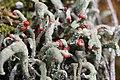 Cladonia sp. (35823225576).jpg