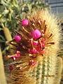 Cleistocactus berries (4551823701).jpg