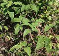 Clematis patens (leaf).jpg