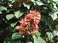 Clerodendrum paniculatum - Jardin botanique de Deshaies.JPG
