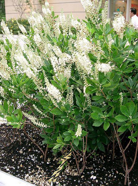 File:Clethra alnifolia1.jpg