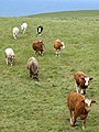 Cliffs of Moher - Kühe beim Spaziergang - panoramio.jpg