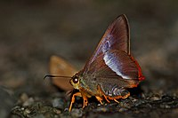 Close wing position of Bibasis sena Moore, 1865 – Orangetail Awl.jpg