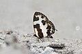 Close wing position of Caleta elna Hewitson, 1876 – Elbowed Pierrot.jpg