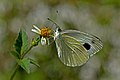 Close wing position of Pieris canidia Linnaeus, 1768 – Asian Cabbage White WLB DSC 4442.jpg