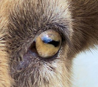 Pupil - Image: Closeup of goat eye