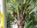 Coconut004.jpg