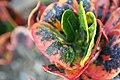 Codiaeum variegatum Bahli Hi 0zz.jpg