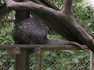 Bicolored-spined porcupine - Image: Coendu bicolor