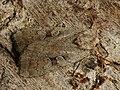 Coenophila subrosea - Rosy marsh moth - Земляная совка розоватая (41037536342).jpg