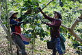 Coffee Harvest Laos.jpg