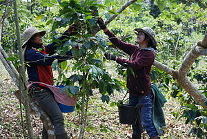 Agriculture in Laos - Coffee harvest in Laos