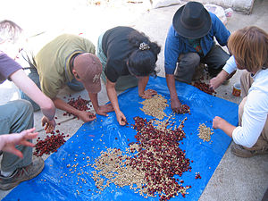 Workers sorting and pulping coffee beans at a ...